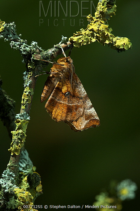 Early Thorn Moth (Selenia dentaria) one of the very rare examples of a moth that holds its wings flat over its back like a butterfly, Europe  -  Stephen Dalton