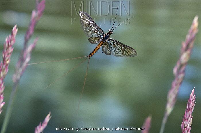 Common Burrower Mayfly (Ephemera danica) flying, Europe  -  Stephen Dalton