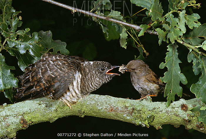 Common Cuckoo (Cuculus canorus) young being fed by foster parent Dunnock (Prunella modularis), Europe  -  Stephen Dalton