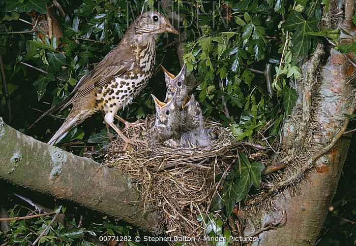 Mistle Thrush (Turdus viscivorus) at nest with three begging chicks, Europe  -  Stephen Dalton