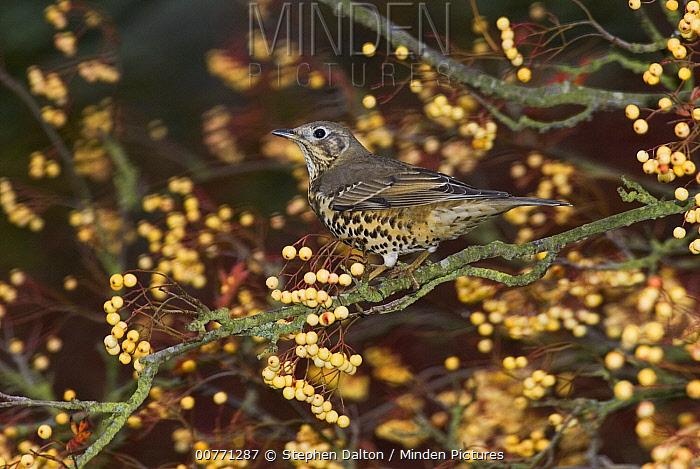 Song Thrush (Turdus philomelos) in shrub, Sussex, England  -  Stephen Dalton