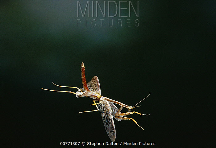 Mantid (Stagmomantis sp) flying, Florida  -  Stephen Dalton