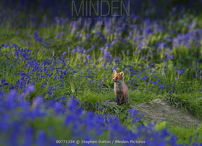 Red Fox (Vulpes vulpes) sitting kit amid English Bluebells (Hyacinthoides nonscripta), Sussex, England  -  Stephen Dalton