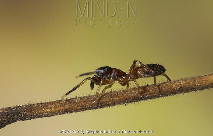 Ant-mimic Jumping Spider (Myrmarachne formicaria) on grass, Sussex, England  -  Stephen Dalton