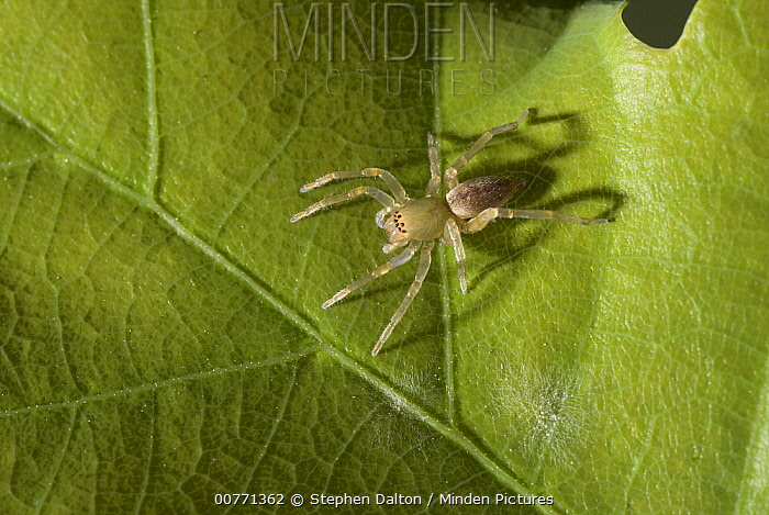 Sac Spider (Clubiona sp) does not make a web but hunts by stealth at night, Sussex, England  -  Stephen Dalton