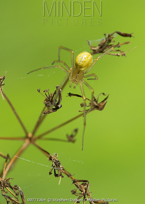 Comb-footed Spider (Enoplognatha ovata) on dried plant, Sussex, England  -  Stephen Dalton