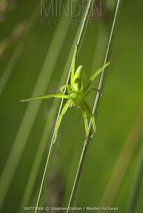 Green Spider (Micrommata virescens) sub-adult female of very fast moving spider that hunts by pursuit, Sussex, England  -  Stephen Dalton