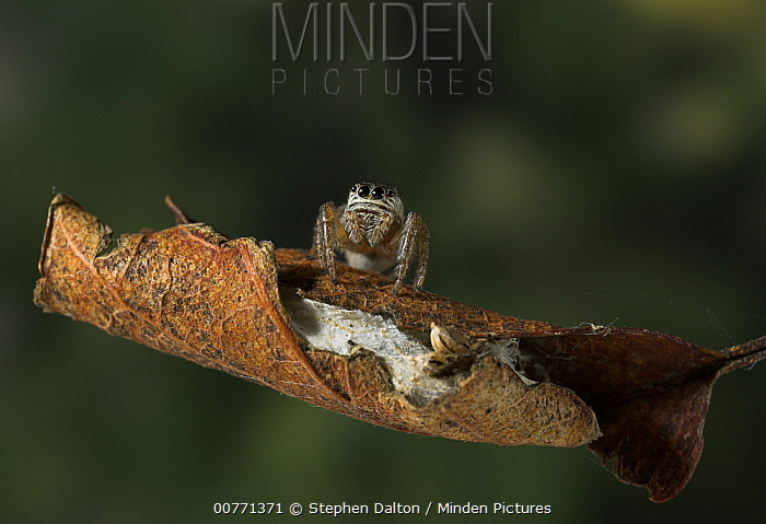 Jumping Spider (Evarcha arcuata) female guarding eggs wrapped in leaf, Sussex, England  -  Stephen Dalton