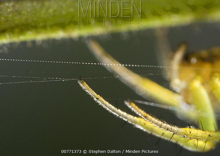 Cucumber Spider (Araniella cucurbitina) feet, Sussex, England  -  Stephen Dalton