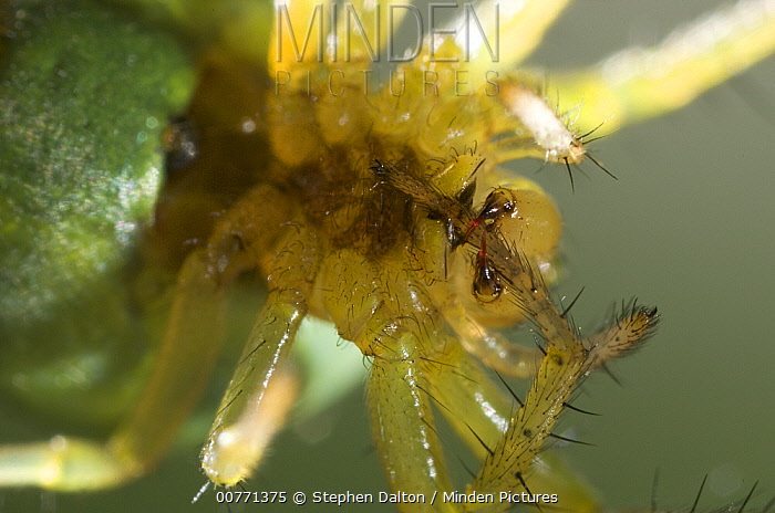 Cucumber Spider (Araniella cucurbitina) cleaning foot using chelicerae, Sussex, England  -  Stephen Dalton