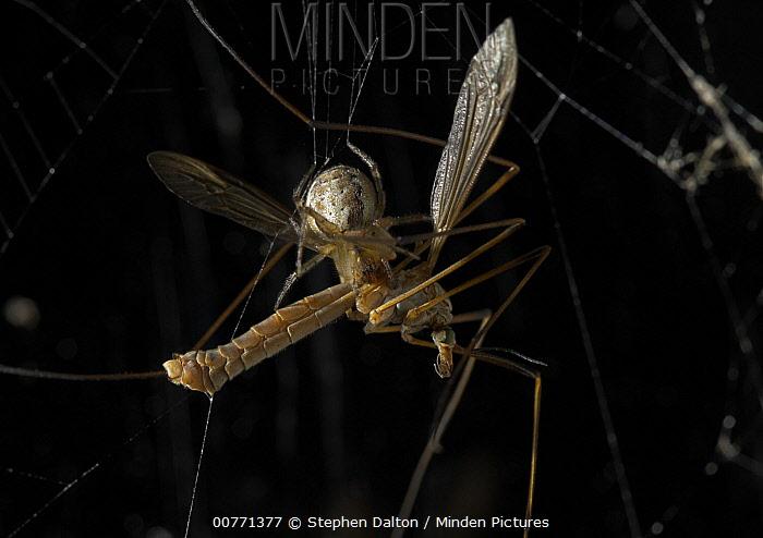 Orb-weaver Spider (Zygiella x-notata) feeding on Crane Fly (Tipula sp) found on window frames and guttering, Sussex, England  -  Stephen Dalton