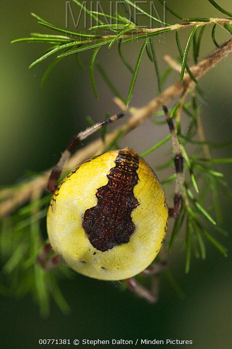 Marbled Orb Weaver (Araneus marmoreus) showing markings on body, Sussex, England  -  Stephen Dalton