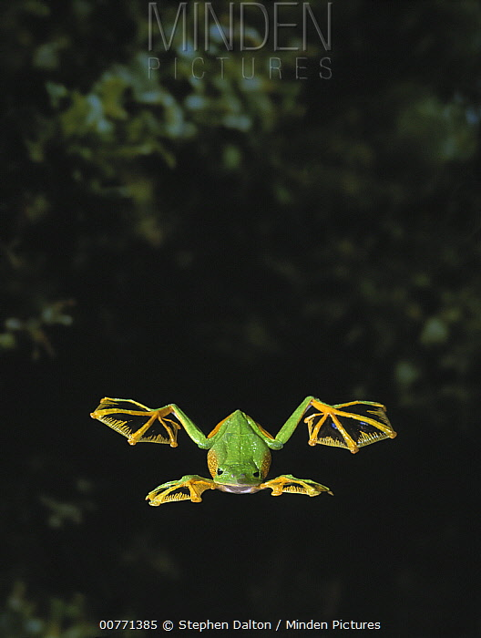 Wallace's Flying Frog (Rhacophorus nigropalmatus) glides to the forest floor by extending webbed feet, native to Malaysia and Borneo  -  Stephen Dalton