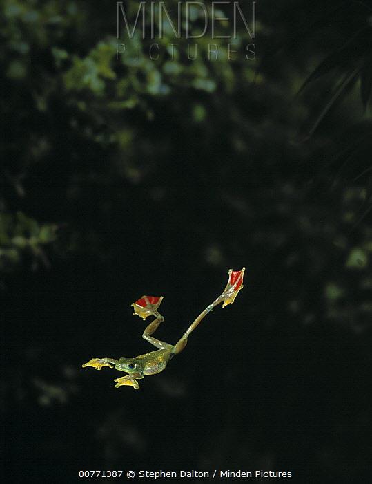 Old World Tree Frog (Rhacophorus sp) gliding between trees by extending webbed feet  -  Stephen Dalton