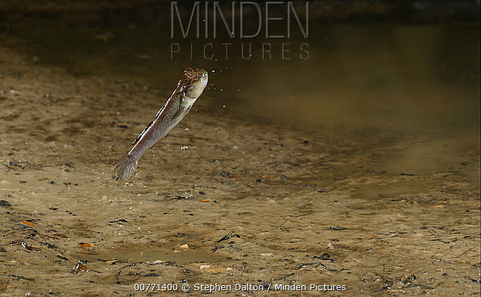 Mudskipper (Periophthalmus barbarus) jumps by pushing off of modified pectoral fins, native to West Africa  -  Stephen Dalton