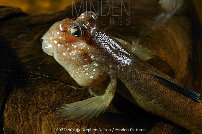 Mudskipper (Periophthalmus barbarus) raising itself out of shallow water by using modified pectoral fins, native to West Africa  -  Stephen Dalton