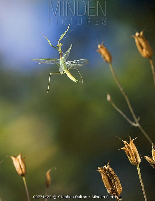 Praying Mantis (Mantis sp) flying, Europe  -  Stephen Dalton