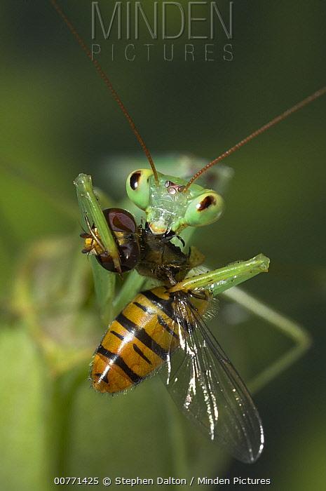 Praying Mantis (Mantis sp) eating a bee, Europe  -  Stephen Dalton