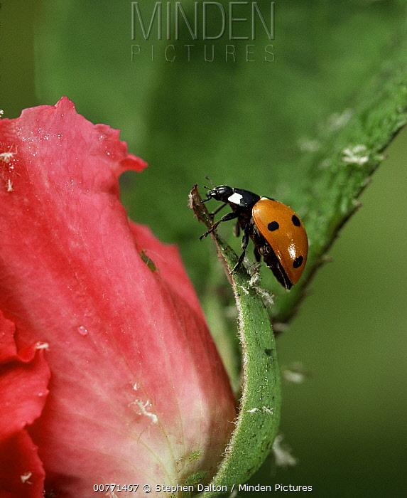 Seven-spotted Ladybird (Coccinella septempunctata) on rose, Sussex, England  -  Stephen Dalton