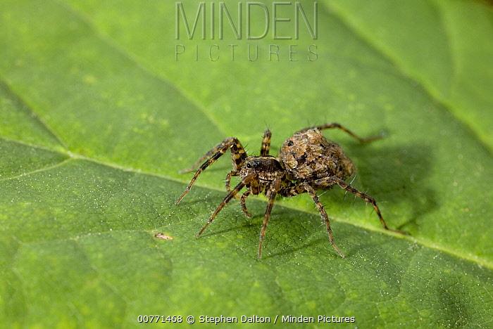 Wolf Spider (Lycosidae), Sussex, England  -  Stephen Dalton
