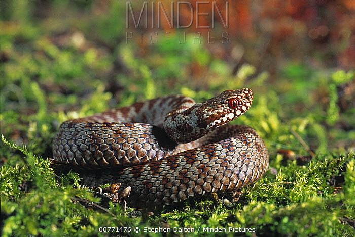 Common European Adder (Vipera berus) in defensive position, Sussex, England  -  Stephen Dalton