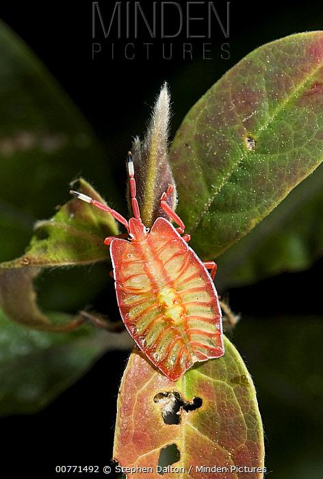 Stink Bug (Pycanum sp) nymph, India  -  Stephen Dalton