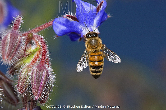 Honey Bee (Apis mellifera) on flower, Sussex, England  -  Stephen Dalton