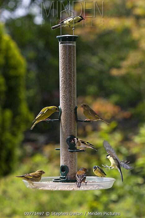 Blue Tit (Cyanistes caeruleus), Great Tit (Parus major), European Greenfinch (Chloris chloris), Chaffinch (Fringilla coelebs), and European Greenfinch (Chloris Chloris) at bird feeder, Europe  -  Stephen Dalton