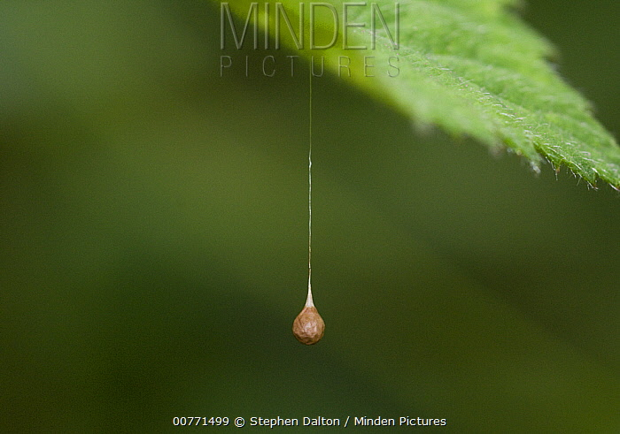 Spider (Theridiosoma gemmosum) egg sac hanging from leaf, Sussex, England  -  Stephen Dalton