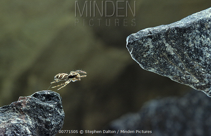 Zebra Jumping Spider (Salticus scenicus) jumping between rocks, Sussex, England, Sequence 1 of 3  -  Stephen Dalton