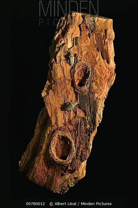 Ribbed Pine Borer (Rhagium inquisitor) adult beetles beside larval chambers occurring between the bark and the wood, native to northern Europe and Asia  -  Albert Lleal