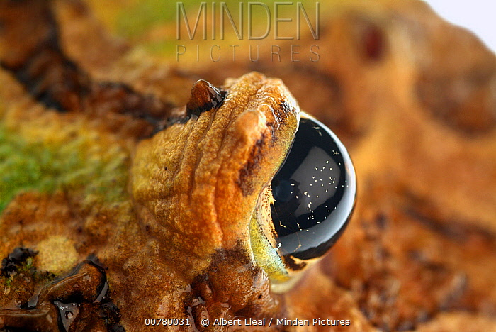 Ornate Horned Frog (Ceratophrys ornata) eye, native to Argentina  -  Albert Lleal