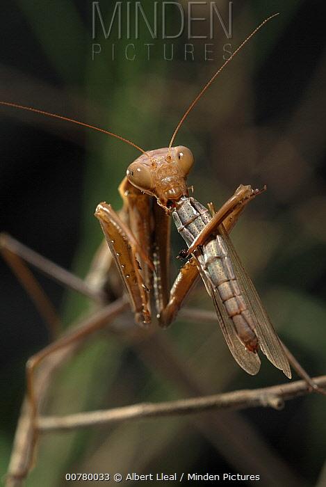 European Mantid (Mantis religiosa) eating grasshopper, Serra del Montsant Natural Park, Tarragona, Spain  -  Albert Lleal