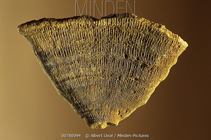 Coral (Phyllosmilia catalaunica) fossil fragment of the Cretaceous period, Lleida, Spain  -  Albert Lleal