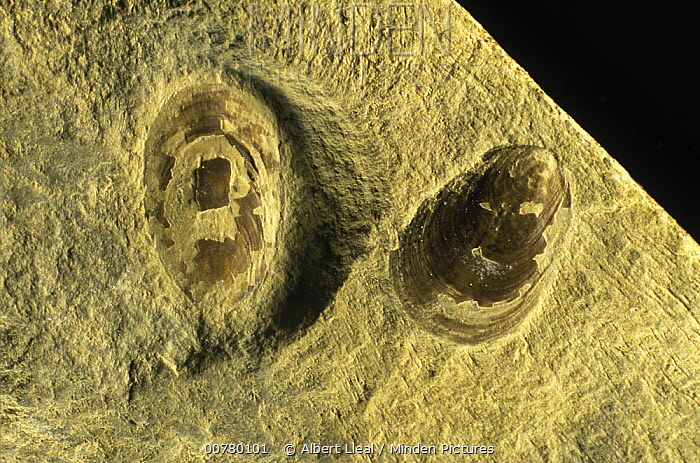 Brachipod (Lingula tenuissima) fossils from the middle Triassic period, Spain  -  Albert Lleal