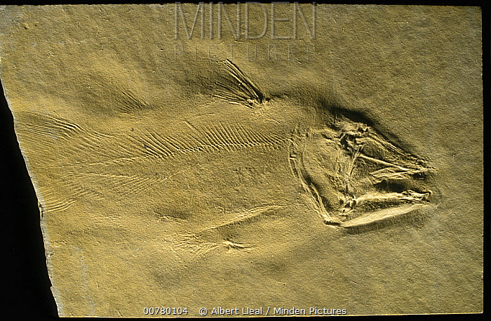 Fish (Alcoveria brevis) fossil from the Triassic period, Spain  -  Albert Lleal