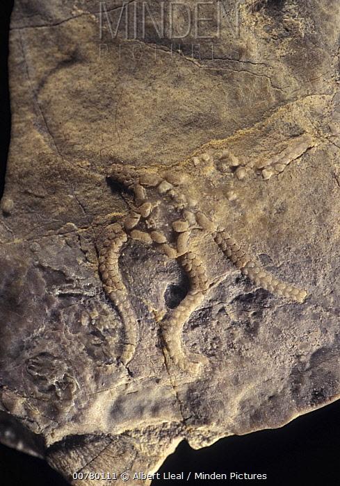 Brittlestar (Stephanouropsis moralejai) fossil of the Triassic period, Spain  -  Albert Lleal