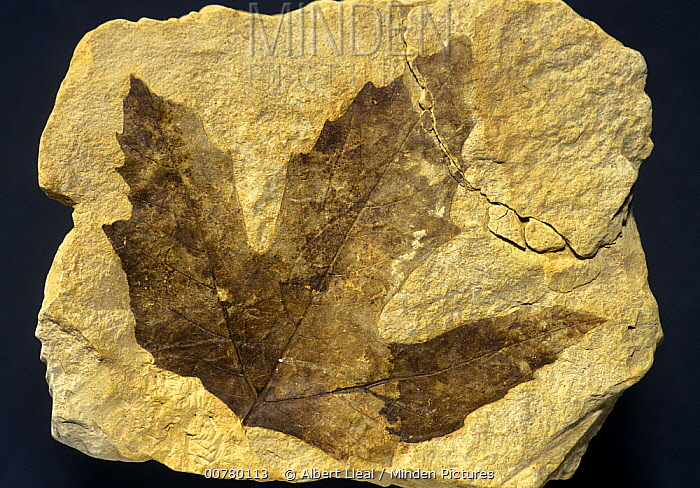 Sycamore (Platanus aceroides) leaf fossil from the Pliocene period, Spain  -  Albert Lleal