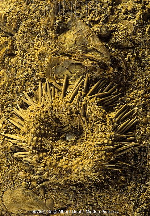 Urchin (Tetragramma dubium) fossil, oral surface, from the Cretaceous period, Spain  -  Albert Lleal
