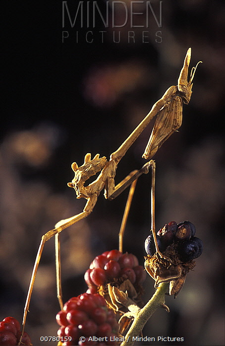 Praying Mantis (Empusa pennata) nymph on berries, Barcelona, Spain  -  Albert Lleal