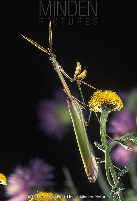 Praying Mantis (Empusa pennata) male on flower, Spain  -  Albert Lleal