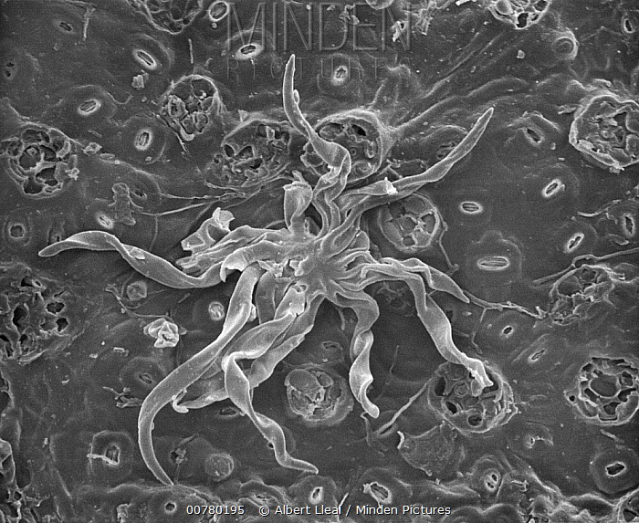 Holm Oak (Quercus ilex) SEM close-up view of a trichome and stomata on the surface of leaf at 280x magnification  -  Albert Lleal