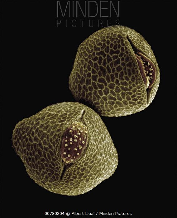 Common Nasturtium (Tropaeolum majus) SEM close-up view of pollen grains at 1400x magnification  -  Albert Lleal