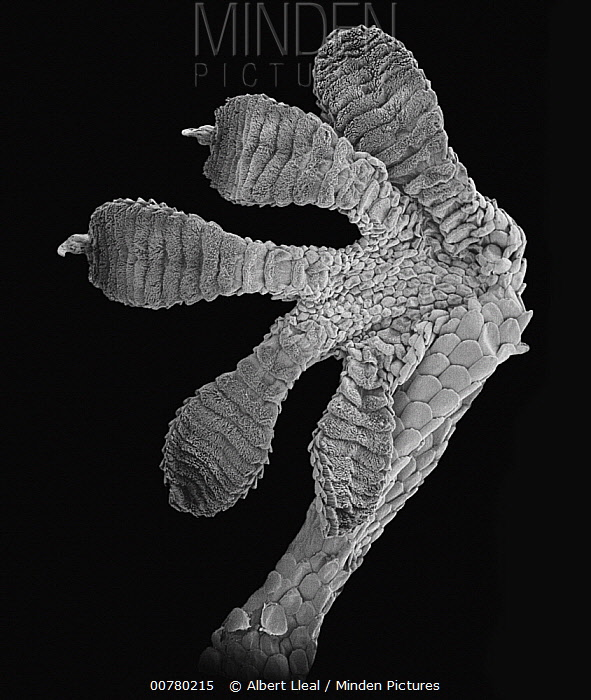 Moorish Wall Gecko (Tarentola mauritanica) SEM close-up of foot of at 16.5x magnification  -  Albert Lleal