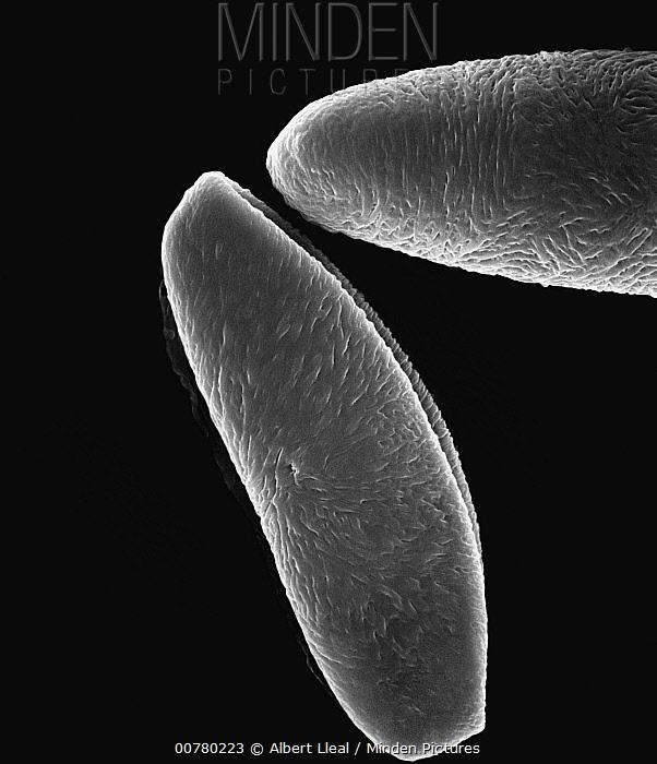 Peruvian Lily (Alstroemeria sp) SEM close-up view of pollen grains of at 700x magnification  -  Albert Lleal