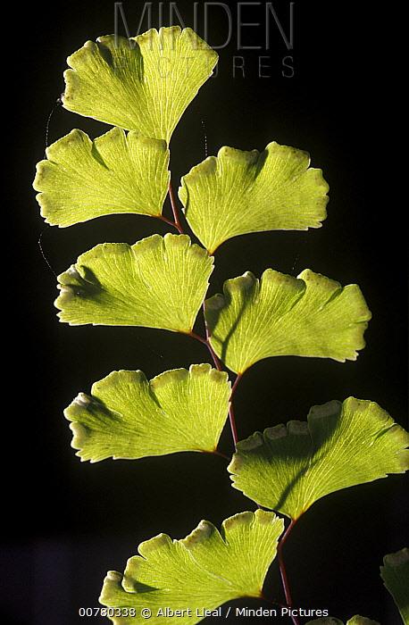 Maidenhair Fern (Adiantum capillus-veneris) frond in El Montseny Natural Park, Spain  -  Albert Lleal