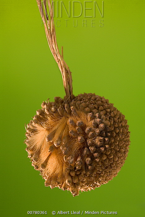 Hybrid Plane (Platanus x hispanica) seed ball, Europe  -  Albert Lleal
