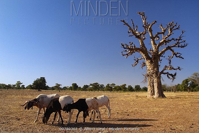Baobab (Adansonia sp) tree and goats on overgrazed land, Burkina Faso, west Africa  -  Albert Lleal