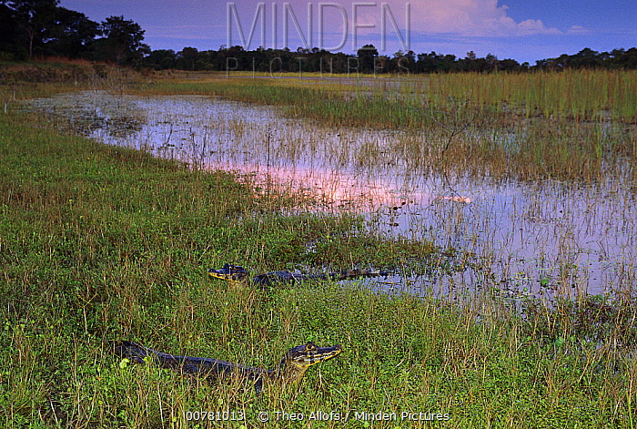 Jacare Caiman (Caiman yacare) pair resting at twilight in grasses near lagoon, Pantanal, Brazil  -  Theo Allofs