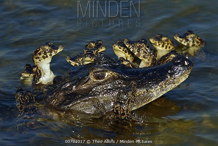 Jacare Caiman (Caiman yacare) young huddling around mother, Pantanal, Brazil  -  Theo Allofs